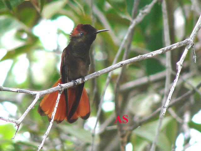 Chrysolampis mosquitus, Beija-flor-vermelho, Ruby-topaz Hum