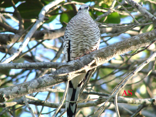 Columbina squammata, Fogo-apagou, Scaled Dove