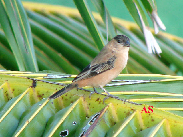 Sporophila bouvreuil, Caboclinho, Capped Seedeater