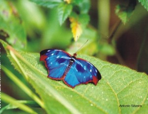 Borboleta azul-Myscelio orsis-PNItatiaia-RJ-BR-ASilveira