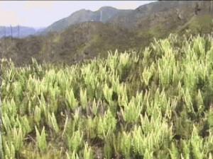 Vegetação - Pedra da Mina (SP)