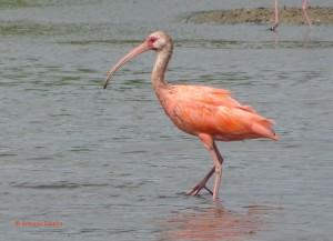 Eudocimus ruber2-PalmBeach-Aruba-21-5-17-ASilveira