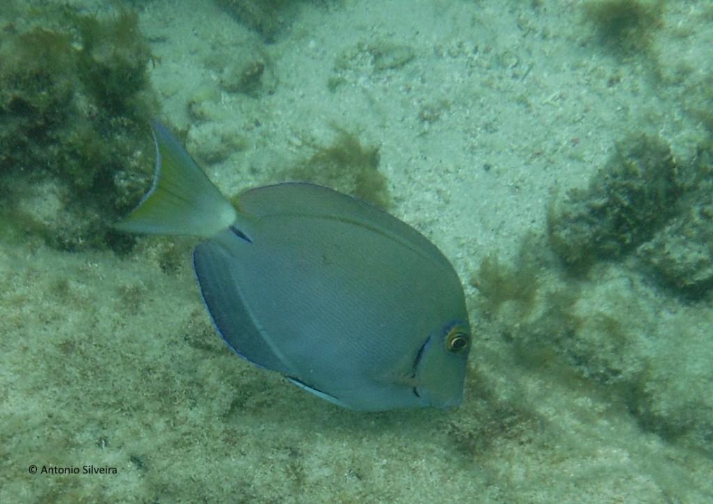 Peixe azul-BCatalina-Aruba-24-5-17-ASilveira