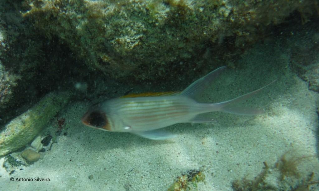 Peixe1-BocaCatalina-Aruba-22-5-17-ASilveira