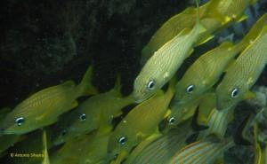 Peixes2-BocaCatalina-Aruba-22-5-17-ASilveira