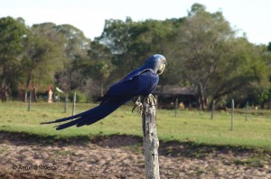 Arara azul-RioNegro-MS6-05-ASilveira