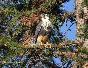 Falco femoralis2-SerraJapiSP-23-7-16-ASilveira
