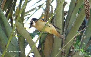 Pachyramphus validus1-JdBotanicoSP-31-10-15-ASilveira