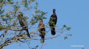 Phalacrocorax brasilianus-JdBotanicoSP-BR-20-10-10-ASilveira
