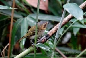 poecilotriccus-plumbeiceps-pecantareira-asilveira