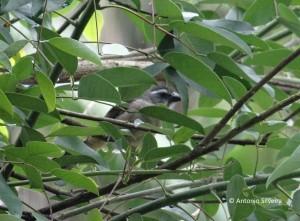 Saltator similis-JdBotanicoSP-7-11-15-ASilveira