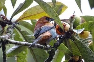 tangara-preciosa1-pqcaracolrs-6-10-16-asilveira