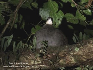 Tinamus solitarius4-NCunhaPESM-Br2-5-13-ASilveira-ed