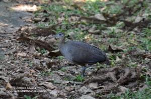 Tinamus solitarius5-PECantareireSP-BR-10-1-15-ASilveira