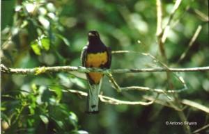 Trogon s.aurantius-PNItatiaiaBR-11-90-ASilveira