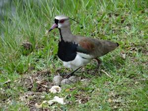 Vanellus chilensis-nest2-JdBotanicoSP-BR-6-11-15-ASilveira