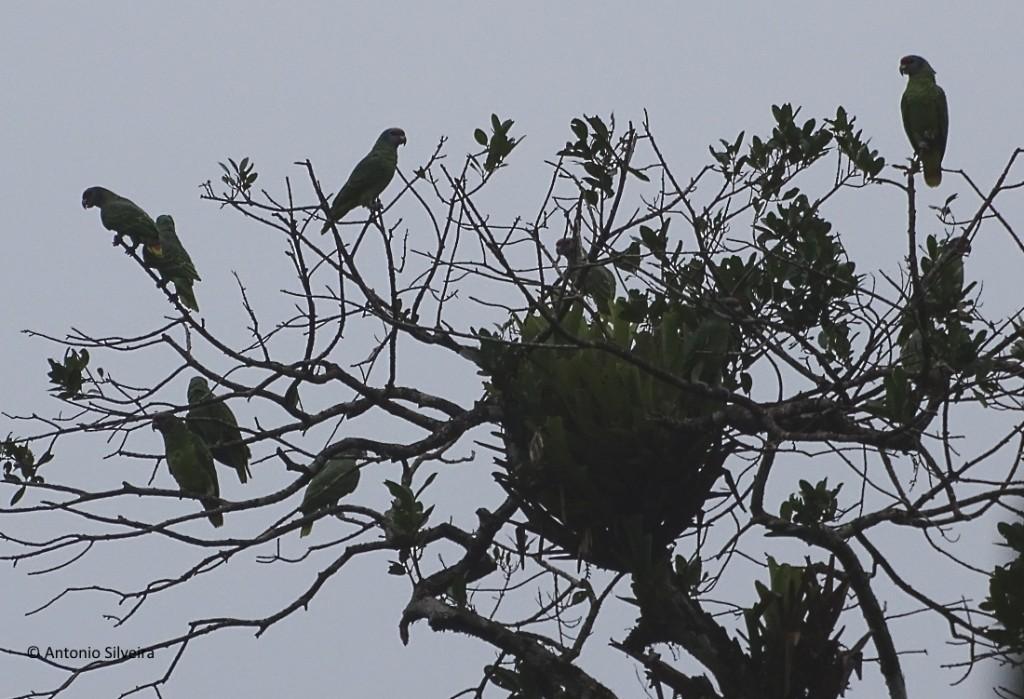 Amazona brasileinsis1-RCastro-ItanhaemSP-4-5-17-ASilveira
