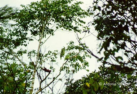 amazona-brasiliensis1-jbopiranga-itanhaem-sp-10-1989-asilveira