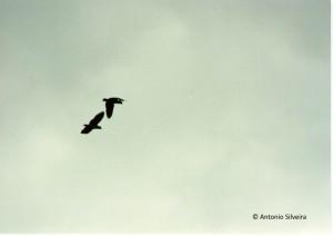 amazona-brasiliensis2-jdbopiranga-itanhaemsp-br10-89-asilveira