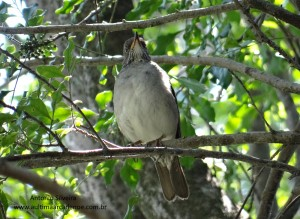 Turdus subalaris3-PqIbirapueraSPBR-15-9-15-ASilveira