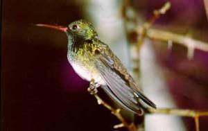 Amazilia-fimbriata-Ubatuba-SP-1989-ASilveira