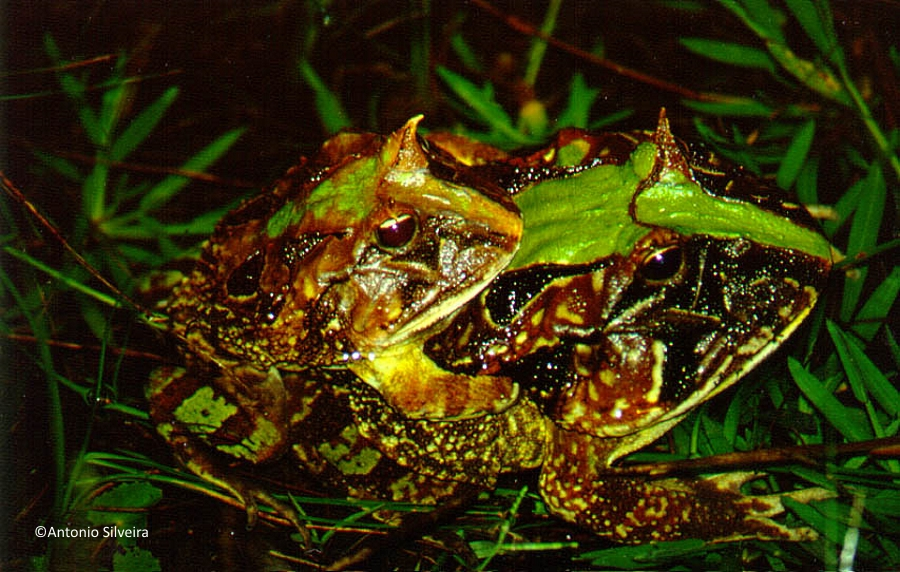Cerathophrys aurita-Picinguaba-Ubatuba-SP-BR 01-1992-ASilveira