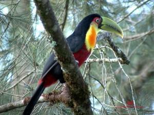 Ramphastos-dicolorus2-CdoJordao-SP8-06-ASilveira-red