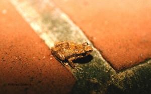 Eleutherodactylus johnstonei1-SPaulo-nov1995-ASilveira