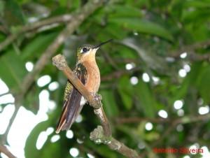 Clytolaema rubricauda-f-ItatiaiaNP-Brazil4-04-ASilveira