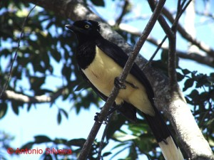 Cyanocorax chrysops-IguacuNP-Brazil27-4-06-ASilveira