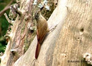 Dendrocolaptes-platyrostris-MonteVerde-MG-Brazil-1-05-ASilveira