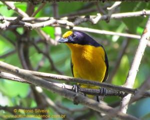 Euphonia-violacea2-Guarau-PeruibeSP-BR4-8-12-ASilveira