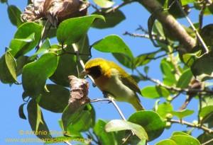 Hemithraupis-guira1-Guarau-PeruibeSP-BR4-8-12-ASilveira