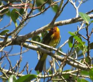 Hemithraupis ruficapilla-Guarau-PeruibeSP-BR4-8-12-ASilveira