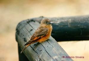 Hirundinea-ferruginea-PEIntervalesSP-Brazil10-89-ASilveira