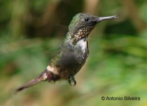 Lophornis-chalybeus-2FolhaSecaUbatubaSP-Brazil-9-3-07-ASilveira