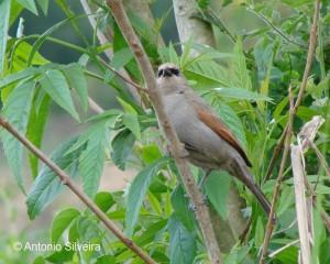 Molothrus-Agelaioides-badius-LBonitaGramado-RS-Brazil10-06-ASilveira