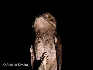 Nyctibius-griseus-NCunha-SP-Brazil-11-4-08-ASilveira