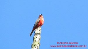 Pyrocephalus rubinus-Guarau-PeruibeSP-BR4-8-12-ASilveira