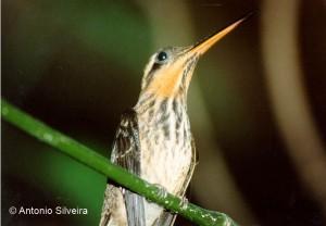 Ramphodon-naevius1-PrCamburi-SSSP-Brazil-3-90-ASilveira