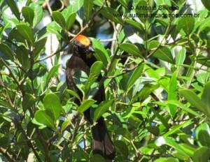Tachyphonus-cristatus1-Guarau-PeruibeSP-BR4-8-12-ASilveira