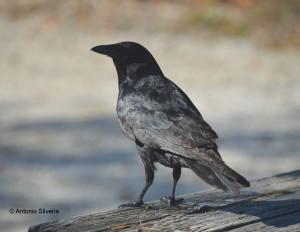 Corvus ossifragus5-OletaStPkMIA-US-24-4-14-ASilveira