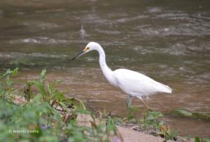 egretta-thula-pcoantas-sp-29-11-16-asilveira