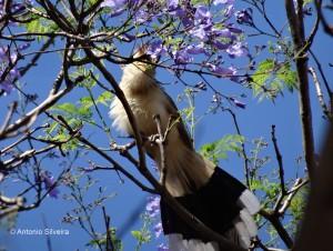 Guira guira1-PqFarropilhaPOARS-BR-20-10-14-ASilveira