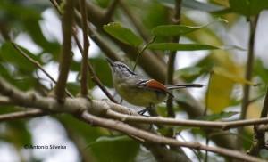 Herpsilochmus rufimarginatus1-PcAntasMongSPBR-3-9-15-ASilveira
