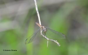 Odonata1-AgenordeCampos-MongaguaSP-7-10-14-ASilveira