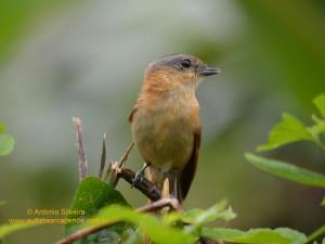 Pachyramphus castaneus4-PesqFazenda-MongaguaSP-4-12-14-ASilveira