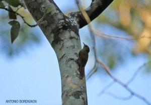 Sittasomus griseicapillus-PECant-SP-Antonio Bordignon