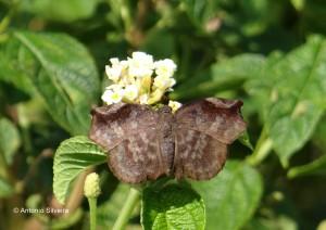 Achlyodes busirus rioja2-PqIbirapueraSP-3-3-15-ASilveira