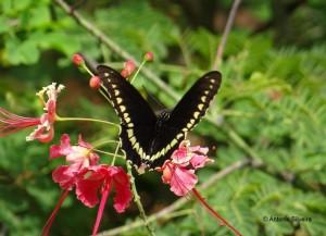 Battus polystictus-PqIbirapueraSP-BR-17-2-15-ASilveira